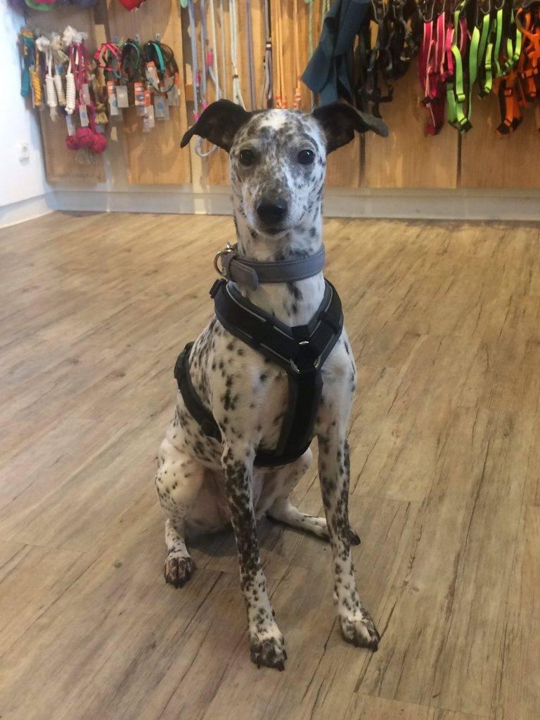Maßgeschirre von Nordic Dog Love bei uns im Laden